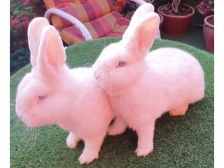 White vienna blue eyes ???? breeder pair