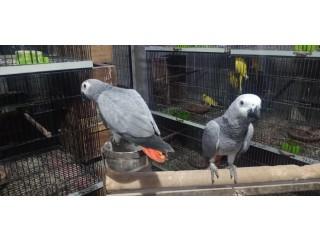 Congo size Grey