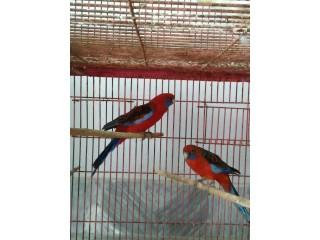 Red Crimson Rosella Breeder Pair