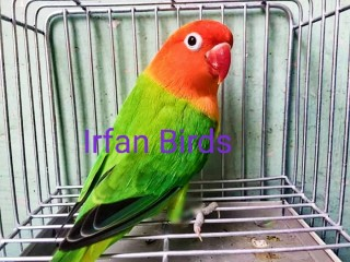 Beautiful Healthy and active opalin birds for sale