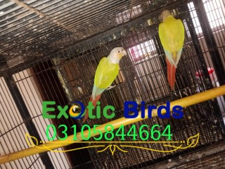 2 Pairs Pineapple Conure