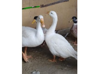 Big tow piars goose ducks