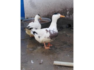 Desi ducks ka egg laying pair