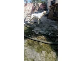 Labrador male
