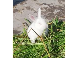White red eyes rabbit baby