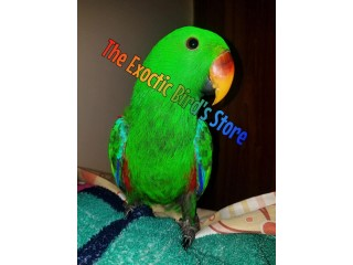 Yellow tail Grand Eclectus