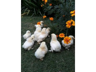 Mottled bantum chicks