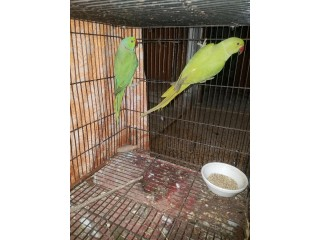 Green ringneck bounded pair