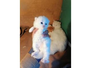 Pair kitten