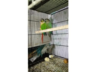 GREEN + BLUE CHICK CONER..PAIR