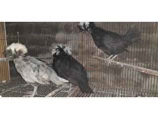 Silki or polish chicks