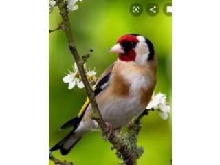 Saira Bird Pattha