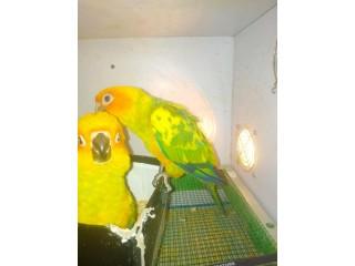 Sunconure Chicks