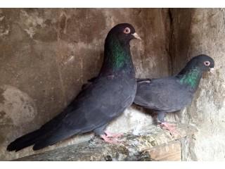 Outclass original Zakh breeder pair