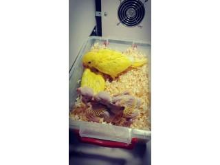 Yellow ringneck chicks