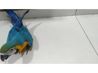 Blue Gold Self feed Macaw