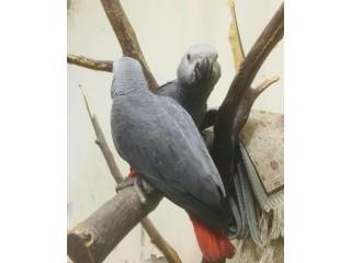 African Grey Chicks