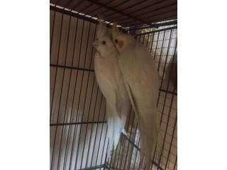 Cockatiels breeder Pair