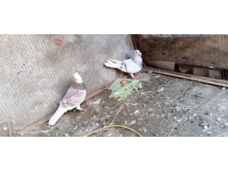 Lal babra ghagra breeder pair