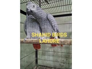 3 Pair Grey parrot