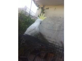 Triton cacato and yellw bib lory chik