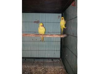 Yellow RING NECK pathy