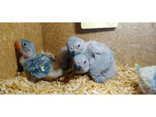 African grey and raa chicks
