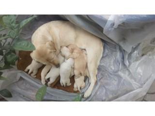 Labrador (Yellow retrievers) puppies