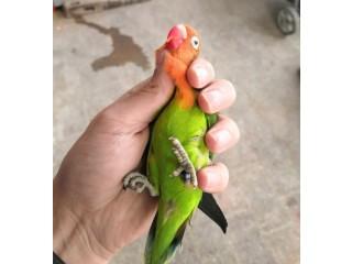 Green split opaline male